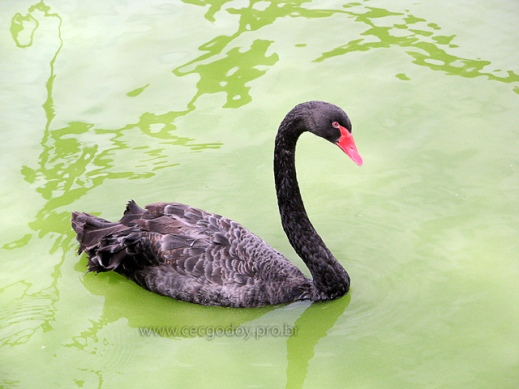 cisne-negro-02-md-web
